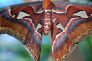 A giant Atlas moth emerges to live for just 5 or 6 days after growing in its cocoon for about 5 years.